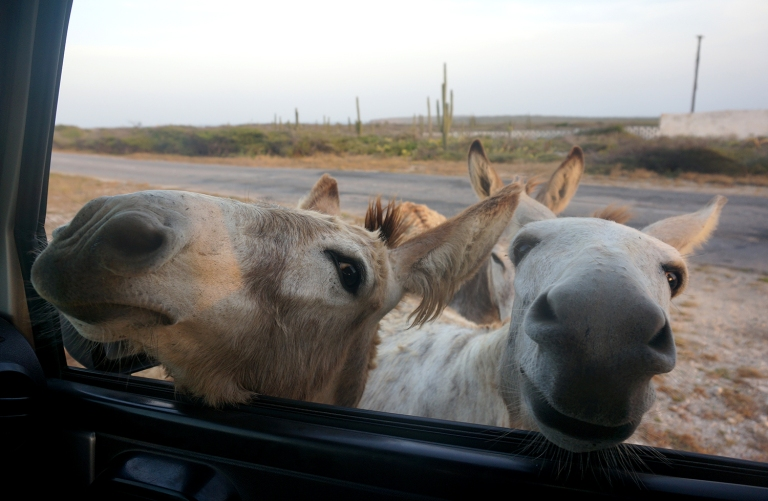 Friendly donkeys in Aruba
