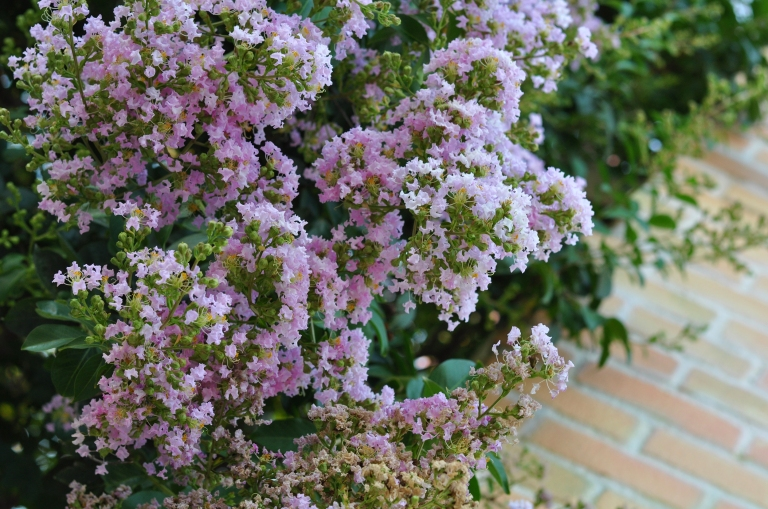 Light pink Crape Myrtle